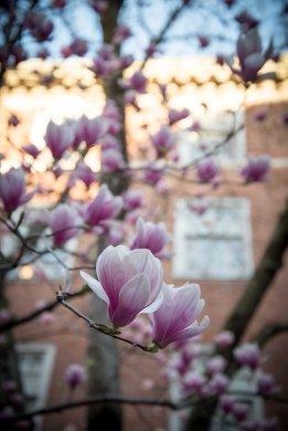 Magnolia parviflora