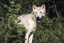 Cerai-Wolf