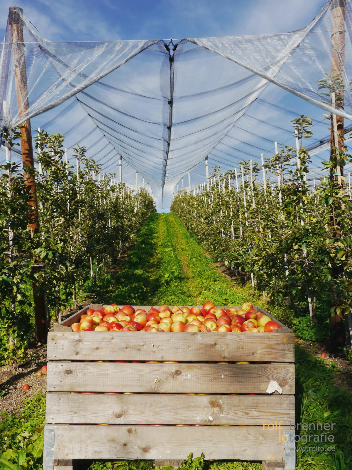 Apfelernte bei Kressbronn am Bodensee