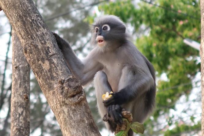 Dusky-Langur-monkey