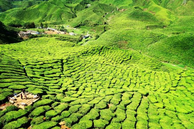 tea-plantation-malaysia