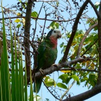 ABACO PARROTS TO CELEBRATE A MODEST LANDMARK
