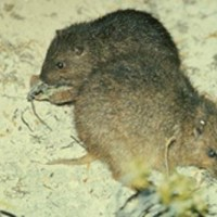THE BAHAMIAN HUTIA: ABACO'S EXTINCT RODENT