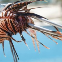 LIONFISH: FACTS, VENOM & CRISIS CONTROL IN THE BAHAMAS - & A COUNTER-VIEW