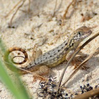 BAHAMAS CURLY TAILS ON ABACO: ENCHANTING LIZARDS