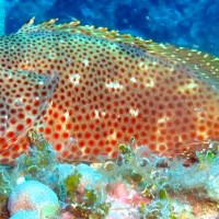 RED HIND GROUPER: BAHAMAS REEF FISH (25)