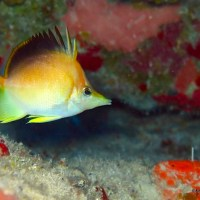 """THE BUTTERBUN"" (LONGSNOUT BUTTERFLYFISH): BAHAMAS REEF FISH (26)"