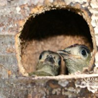 HUNGRY MOUTHS TO FEED: W.I. WOODPECKER CHICKS (PT 2)