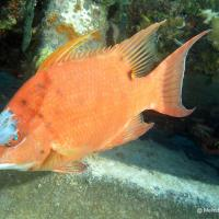 HOGFISH: BAHAMAS REEF FISH (31)