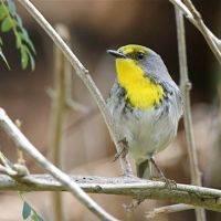 ABACO'S 37 WARBLER SPECIES: AN ILLUSTRATED GUIDE