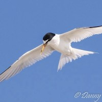 ROYAL TERNS: DIVING FOR SILVER