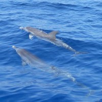 ATLANTIC SPOTTED DOLPHINS OFF ROCKY POINT, ABACO