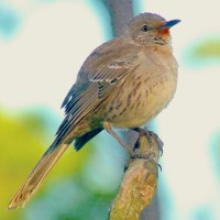 BAHAMA MOCKINGBIRDS ON ABACO: GOOD IMPRESSIONS