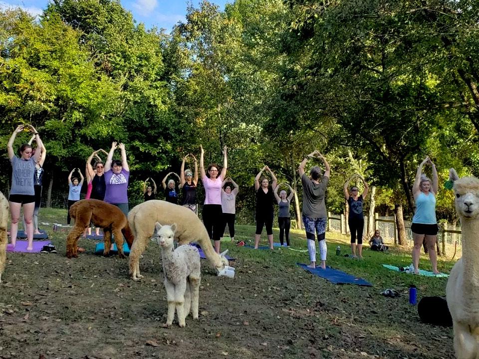 Yoga with the Alpacas