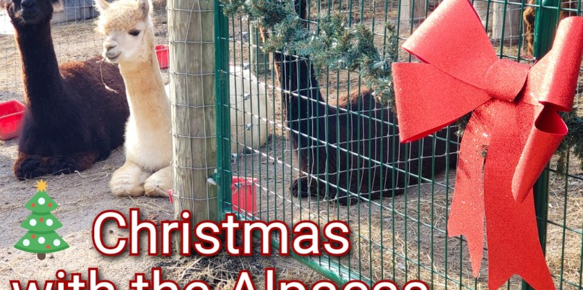 Christmas with the Alpacas 3rd Annual