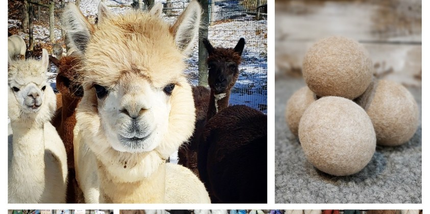 Small Business Saturday with Alpacas