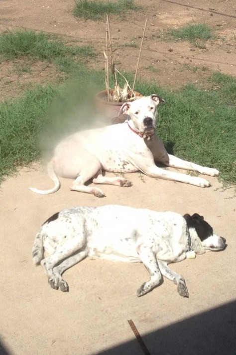 Bonzai-teaching-Zeke-how-to-sunbathe-in-Phoenix