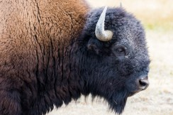 Yellowstone-Bison-0104