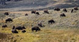 Yellowstone-Lamar Valley-0484