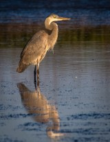 St Pete FL-Birds at Ft DeSoto Park_1743