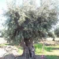 Saving Ancient Olives – Moving them to Napa