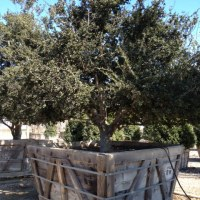 Day Trip for Specimin Trees for California Couture Landscape