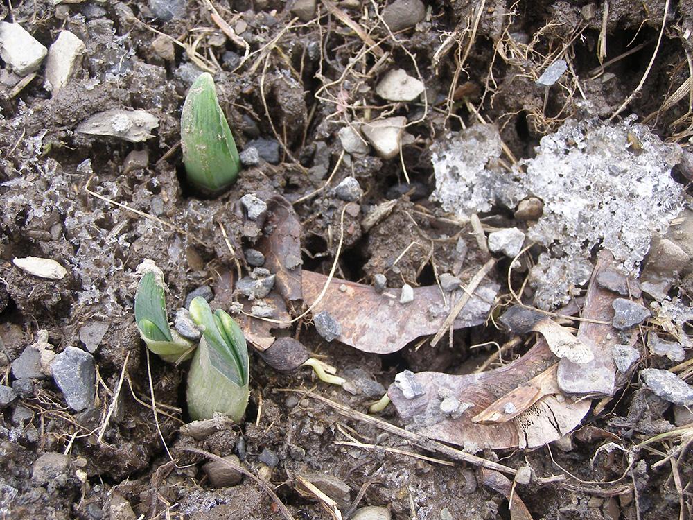 Daffodils peeking through the ground March 25