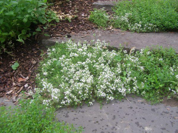 Flowering creeping thyme between stone steps