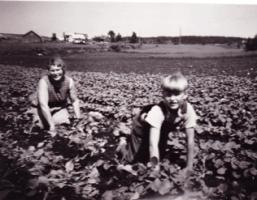"""At barna i familien Ramsjø skulle delta i gårdsarbeidet var en selvfølge. Her tynner mor Johanne og sønnen Halvor (1944) kålrot på """"Husjolet"""". Å få lønn for innsatsen var det ikke tale om. I 1977 overtok Halvor gården og virksomheten."""