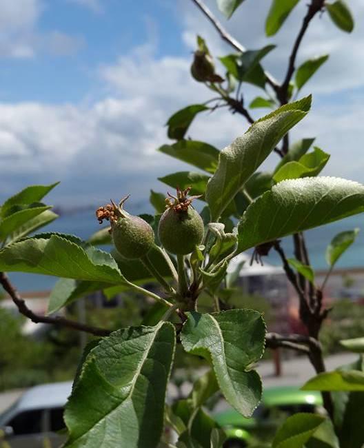 Erik ve Elmalarımız Meyve Verdi!