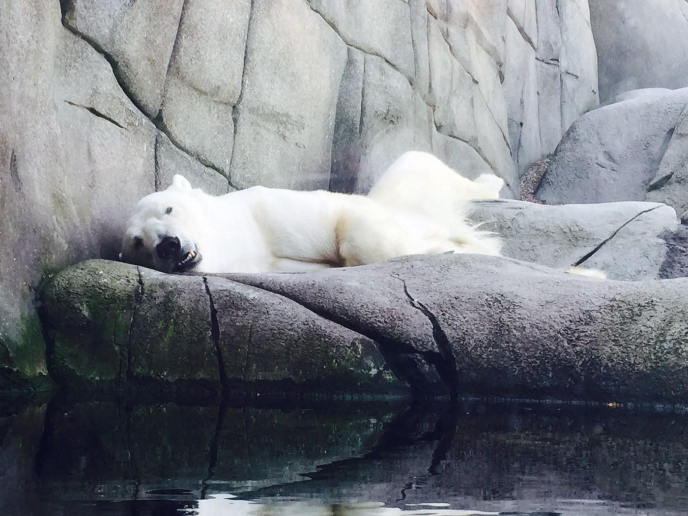 Eisbär im Zoo