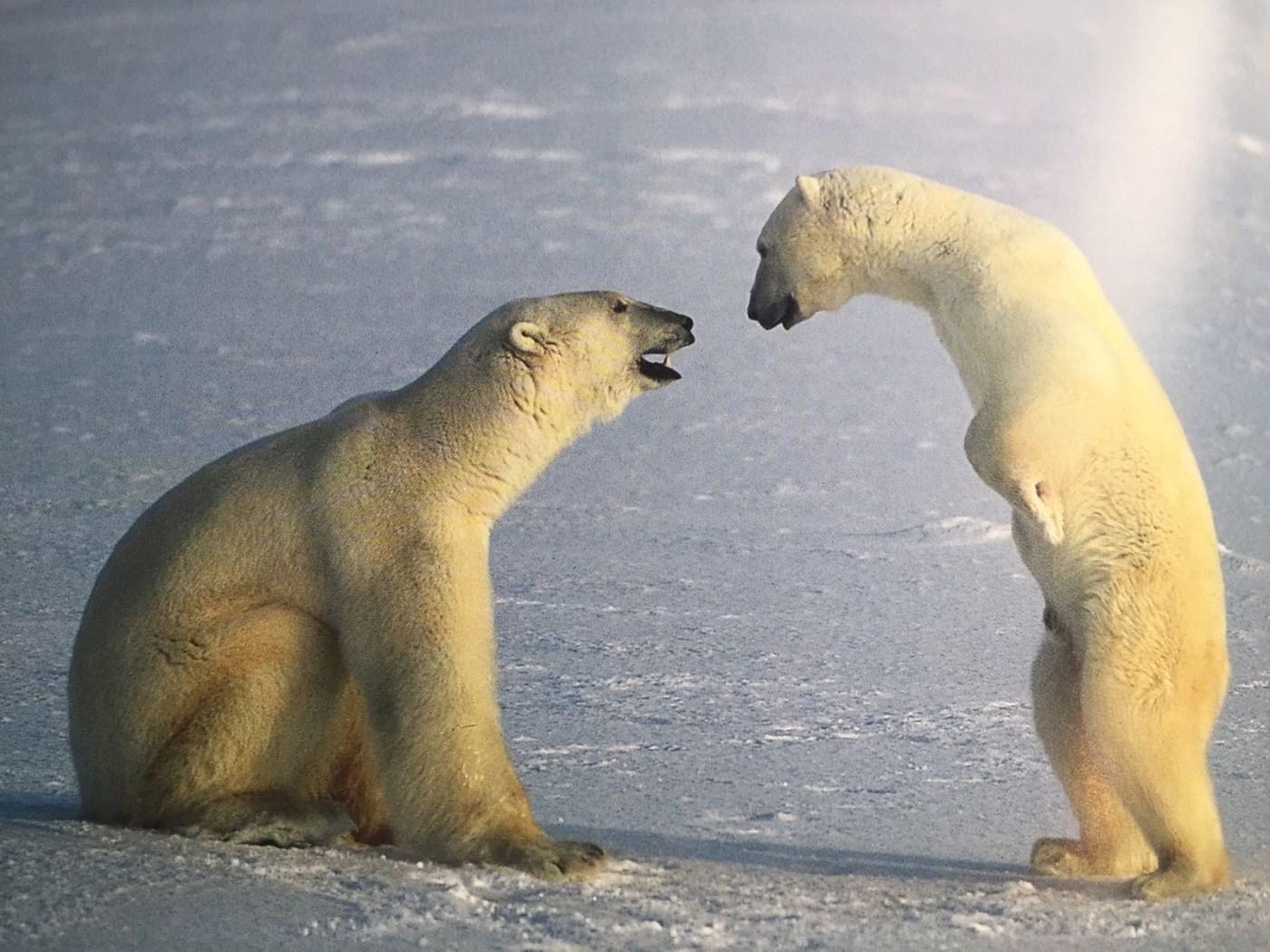 Eisbären im Gespräch