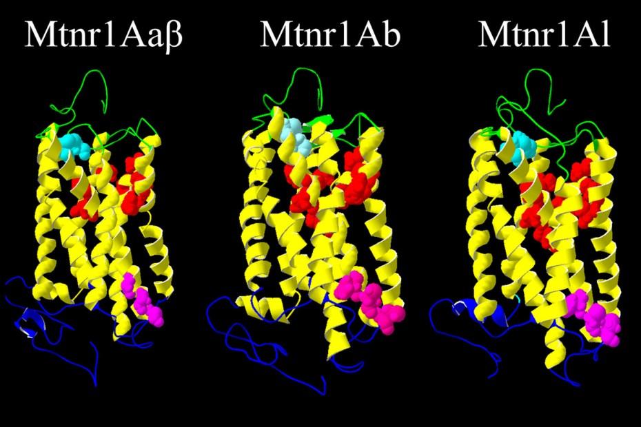 melatonin receptors in salmon pituitary