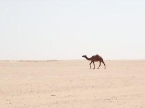 The famous dromedary in the desert