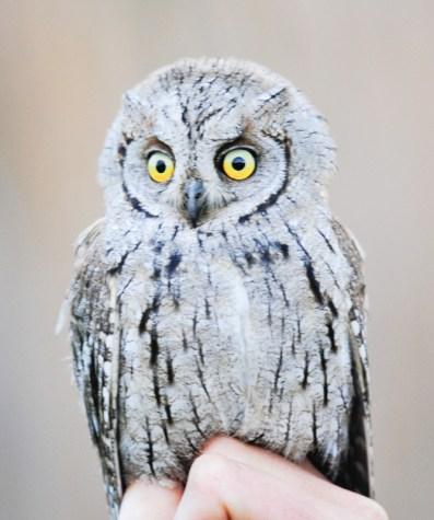 Eurasian Scops Owl (Otus scops, Petit-Duc Scops)