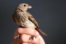 Common Rosefinch (Carpodacus erythrinus, Roselin cramoisi) female
