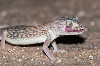 Middle Eastern short-fingered Gecko (Stenodactylus doriae, Gecko nain des sables)