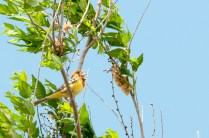 Red-headed Bunting (Emberiza bruniceps, Bruant à tête rousse)