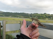 A Sedge Warbler (Acrocephalus schoenobaenus, Pragmite des joncs) that was ringed five day before at Donges (Brittany) by the ACROLA association (around 500km through the Bay of Biscay).
