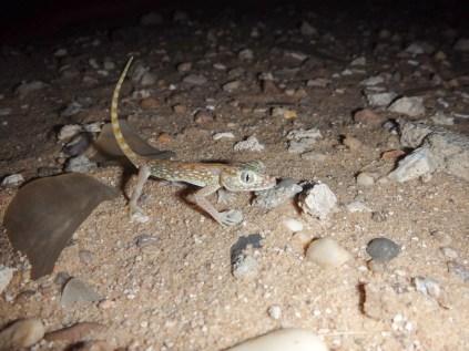 Middle Eastern short-fingered Gecko (Stenodactylus doriae, Gecko nain des sables)