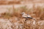 Greater Hoopoe-Lark (Alaemon alaudipes, Sirli du désert)