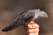 Common Cuckoo (Cuculus canorus, Coucou gris)