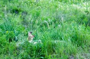Bobak marmot (Marmota bobak, Marmotte des steppes)