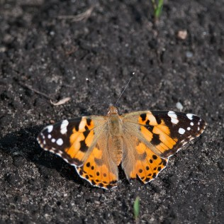 Painted lady (Vanessa cardui, Belle dame)