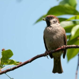 Eurasian Tree Sparrow (Passer montanus, Moineau friquet)