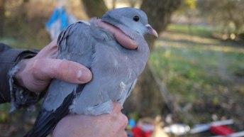 Stock Dove (Columba oenas, Pigeon colombin)