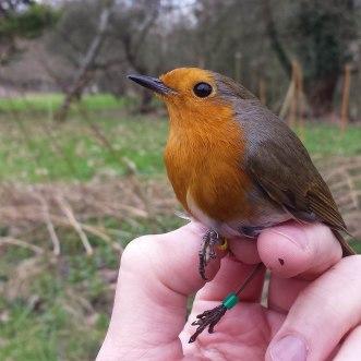 European Robin (Erithacus rubecula,Rougegorge familier)