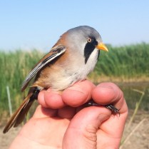 The incredible Bearded Reedling male (Panurus biarmicus, Panure à moustaches)