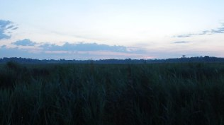 Reed bed at the sunset