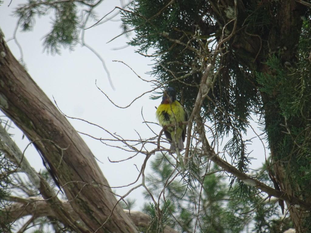 Penang Hill : cet oiseau a l'air empaillé mais il chante super bien